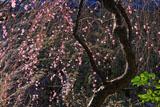 杉本寺の枝垂れ梅