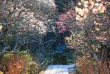 東慶寺 参道の三色梅と金仏