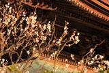 建長寺法堂と白梅