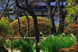鎌倉浄光明寺 水仙と梅