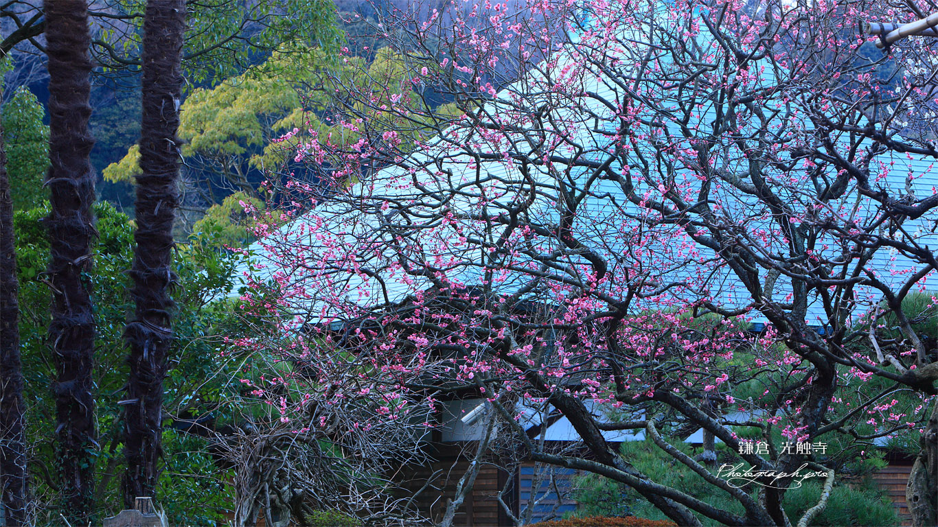 鎌倉光触寺 梅と本堂 壁紙