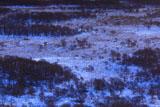 釧路湿原の雪原のハンノキ