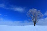 霧氷の美瑛哲学の木
