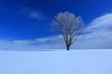 美瑛 哲学の木と雪原のキツネの足跡