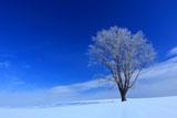 霧氷耀く美瑛哲学の木