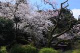 東山代の明星桜