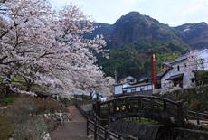 伊万里市の桜