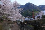大川内山の桜