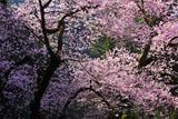 虎尾桜の後ろ姿