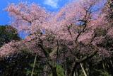 福岡県の桜
