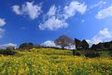 咲き始めの馬場の山桜