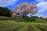 茶畑と納戸料の百年桜