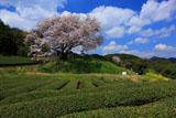 綿雲と納戸料の百年桜