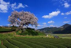 佐賀県の桜