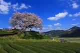 青空と茶畑の納戸料の百年桜
