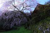 苔生した石垣と西照寺の枝垂れ桜