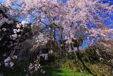 西照寺のしだれ桜クローズアップ