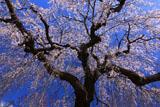 光円寺の枝垂れ桜