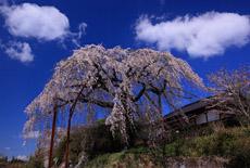 光円寺のしだれ桜