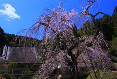 深泉寺のしだれ桜