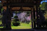 山門越しの深泉寺の枝垂桜