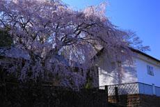 古庄家のしだれ桜
