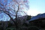 順照寺の枝垂れ桜