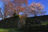 岡城阯の萌樹と桜