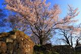 岡城阯西の丸の桜