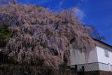 朝の古庄家のしだれ桜