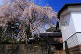 旧家の一本桜