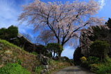 順照寺の枝垂桜