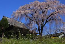 順照寺のしだれ桜
