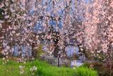 枝垂れ桜越しの淨専寺山門
