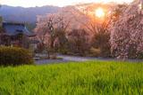 淨専寺境内の枝垂れ桜
