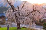 夕陽に染まる淨専寺のしだれ桜
