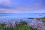 原城の桜と天草を望む