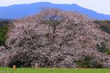 慈眼桜と慈眼岳