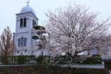 平戸市 紐差教会の桜