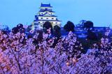 唐津城の桜