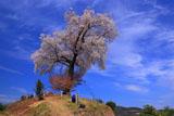 天保古平家一本桜のライトアップ装置