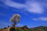 天保古山の平家一本桜