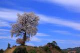 青空を背景に天保古平家一本桜
