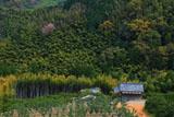 竹林に咲く山桜