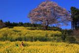 馬場の山桜とカップル