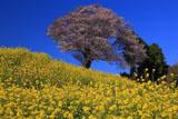 菜の花と馬場の山桜