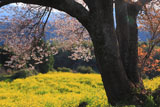馬場の山桜の根元から