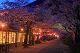 秋月 杉の馬場の夜桜
