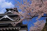 熊本城の桜 天守台南下からの天守閣