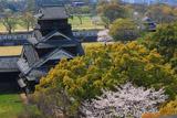 熊本城の桜 天守閣からの宇土櫓